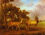 Red Deer Stag and Hind.