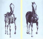 Engravings from The Anatomy of the Horse.